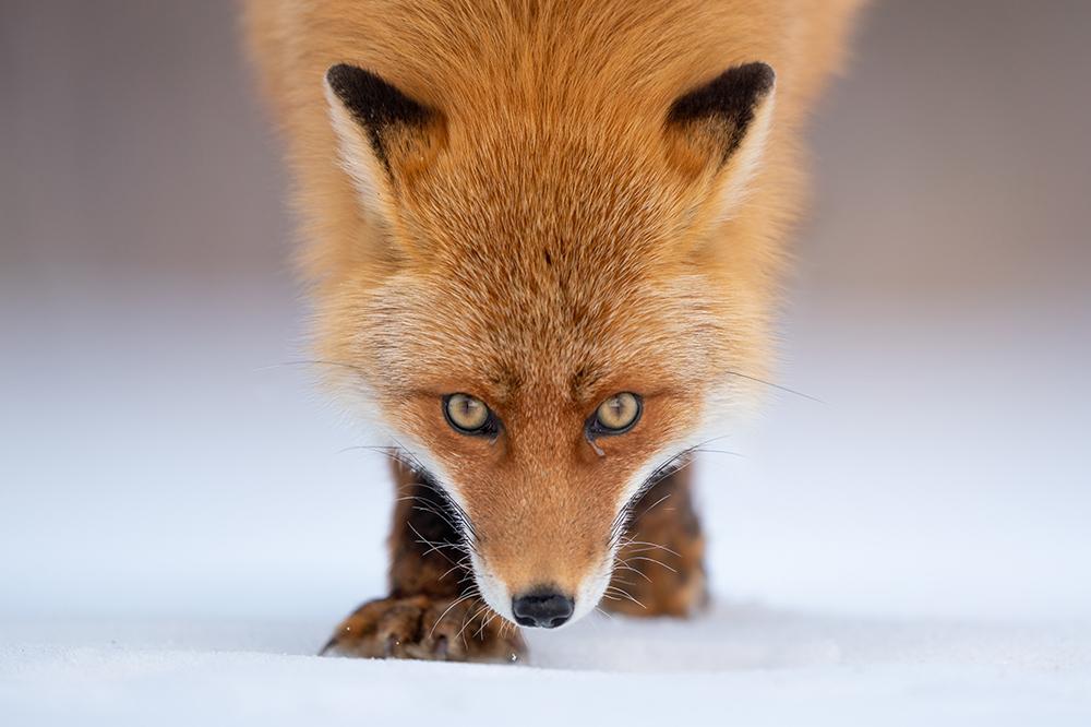 """動物対応""""「リアルタイム瞳AF」が動物写真の世界に新たな旋風を ..."""